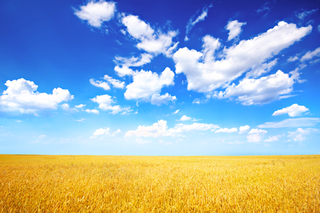 青空: Wheat field and blue sky with clouds