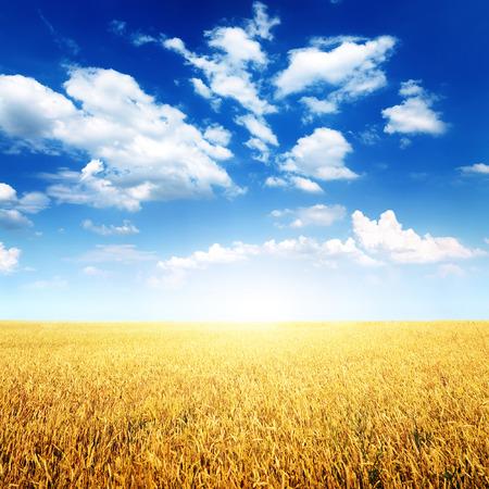 cultivo de trigo: Campo de trigo y cielo azul con nubes