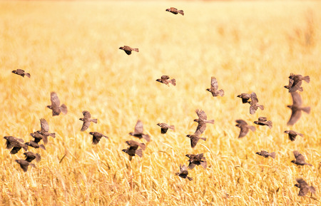 fly: A flock of sparrows flying over the wheat field