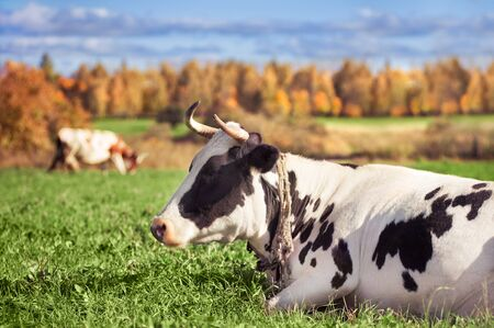 livestock: Two spotted cows on a green meadow in the autumn Stock Photo