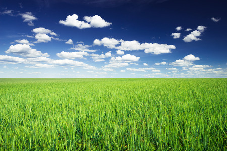 Wheat field against blue sky with white clouds. Agriculture scene