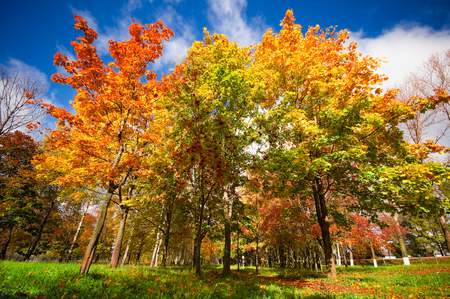 countryside landscape: Autumn landscape with colourful maple tree