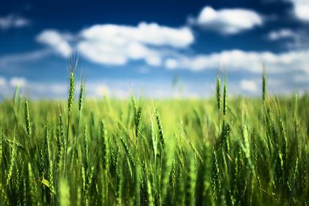 cosecha de trigo: Campo de trigo contra el cielo azul con nubes blancas. Escena Agricultura