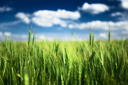 grains: Wheat field against blue sky with white clouds. Agriculture scene
