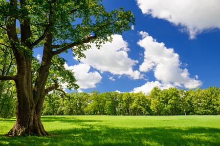 roble arbol: Parque de la ciudad verde con árboles. Hermoso paisaje de verano