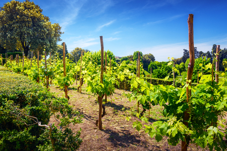 grape vines: Vineyard landscape  in Tuscany, Italy