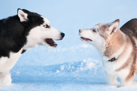 white fur: Two siberian husky playing on snow Stock Photo