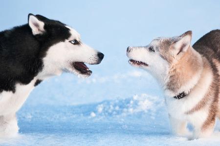 Two siberian husky playing on snow Stock Photo