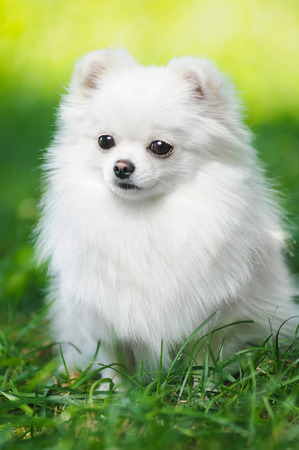 bitch: Black fluffy puppy of pomeranian spitz. Dog on green grass in summer park