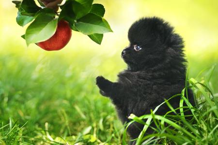 closeup puppy: Black fluffy puppy of pomeranian spitz. Dog on green grass in summer park
