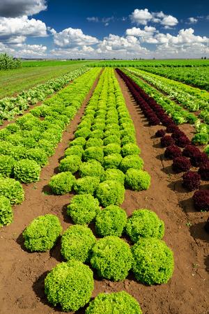 agricultural industry: Agricultural industry. Growing salad lettuce on field Stock Photo