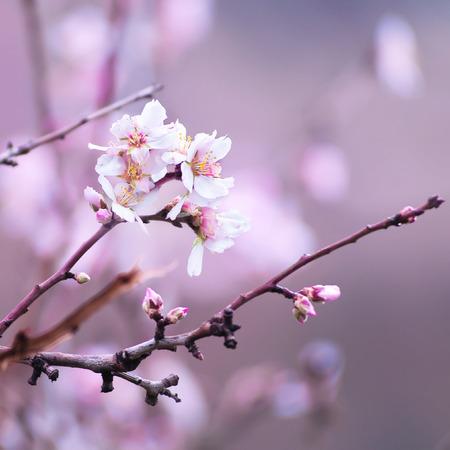 flor morada: Flor del almendro primer plano Foto de archivo