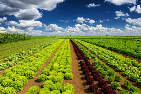 blue sky and fields: Agricultural industry. Growing salad lettuce on field Stock Photo