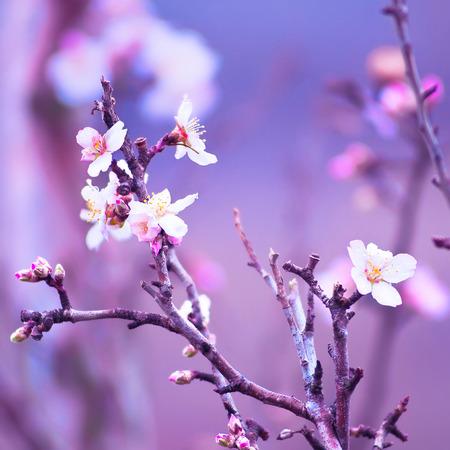 flores moradas: Flor del almendro primer plano Foto de archivo