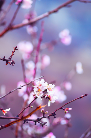 flower of life: Flower of almond close-up