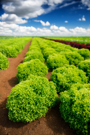 lechuga: Agricultural industry. Growing salad lettuce on field Foto de archivo