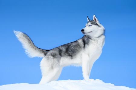 青い空を背景にシベリアン ハスキー