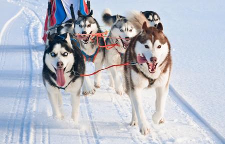 sled dog: Husky dog team is running at sled dog race on snow Stock Photo