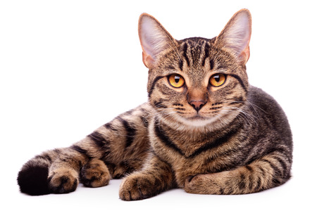 white background: Portrait of brown-eyed cat isolated on white background Stock Photo