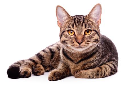 fondo blanco: Retrato de gato de ojos marrones aislados en el fondo blanco Foto de archivo