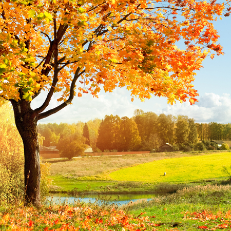 Autumn landscape with colorful maple tree Stok Fotoğraf - 80521536