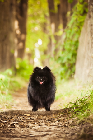 black bitch: Black shpitz in summer park