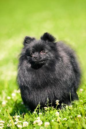 black bitch: Black shpitz on green grass in summer park Stock Photo