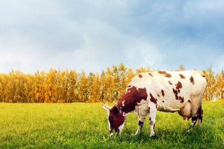 spotted: Grazing spotted cow