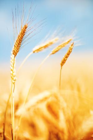 Wheat field and blue sky Foto de archivo