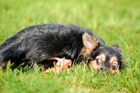 short hair dog: Fluffy chihuahua lie on the grass in park