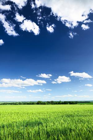 ciel avec nuages: Champ de blé contre le ciel bleu avec des nuages ??blancs