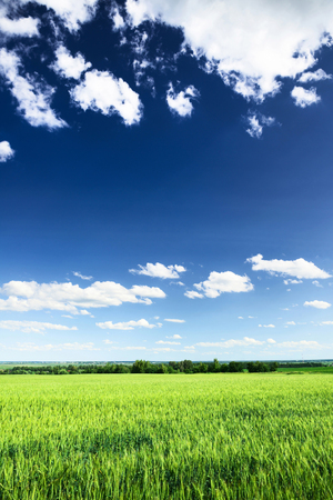 clouds and sky: Wheat field against blue sky with white clouds