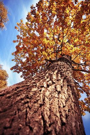 푸른 하늘에 대 한 오래 된 키가 큰 오크 나무