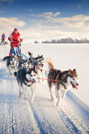 겨울에 눈이 썰매 개 경주에서 썰매 뒤에 숨어있는 여자 musher