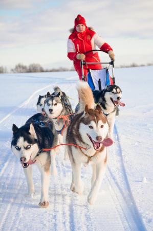 冬の雪のそり犬レースでそりの後ろに隠れて女性犬そり旅行者