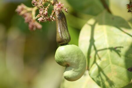 A forming Cashew Fruit with flowers