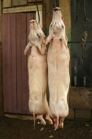 gutted: Two Slaughtered Pigs Stock Photo