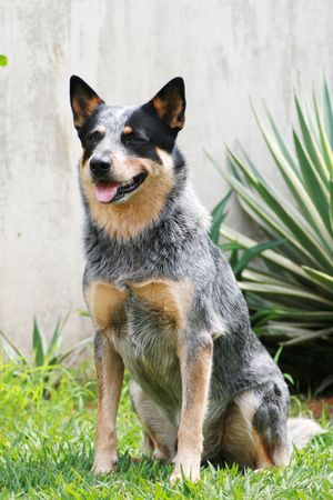 cow head: Australian Cattle Dog Blue Heeler Stock Photo