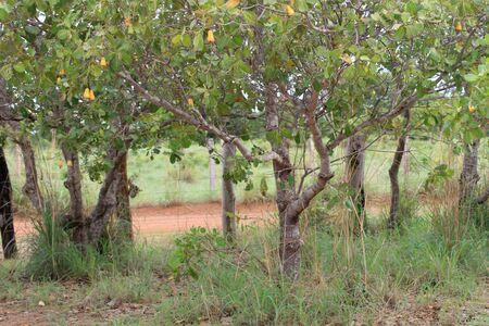 黄色のカシュー ナッツのカシュー果樹園