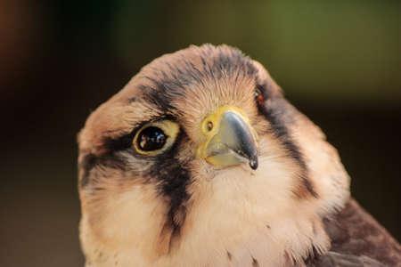 wild alcon with head close-up