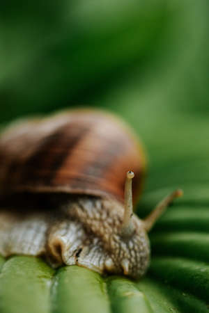 Snail with the house on his back gliding on the green leaves at the garden 版權商用圖片