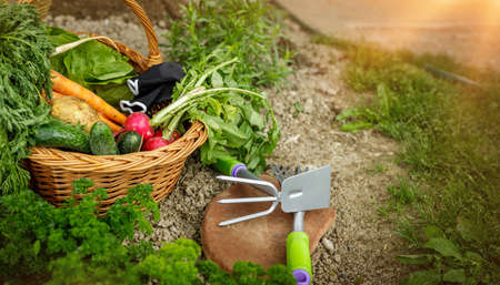 old corf or basket in the garden full with fresh vegetables, gardener tools. Sunlight in the garden before rain