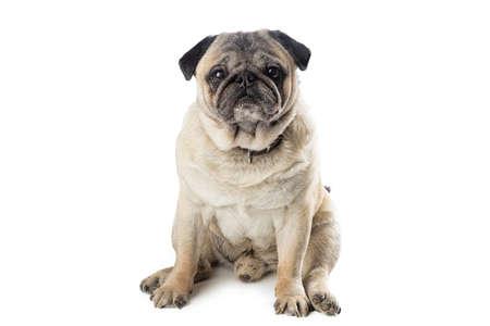 Adorable mature Pug dog sitting on white isolated background. Funny dog poses