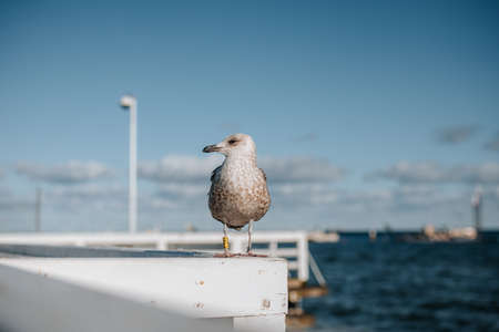 Close uo of a seagull in sopot or gdansk with a view of baltic sea in the background Stock Photo