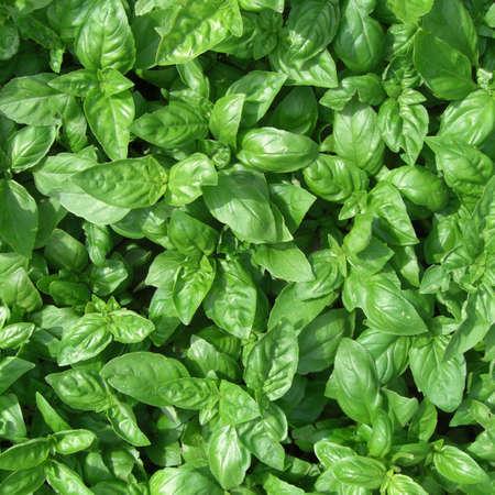 Basil herbs photo