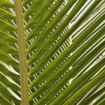 linga: coco palm leave (Inhambane Mosambique) Stock Photo