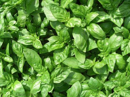 Basil plants (Germany) photo
