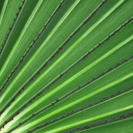 exotically: Leaf of a fan palm. Inhambane, Mozambique, East Africa Stock Photo