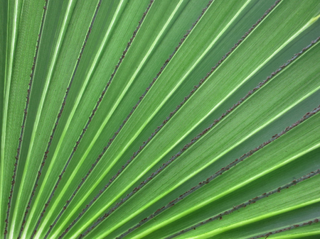 fulfilling: Leaf of a fan palm. Inhambane, Mozambique, East Africa Stock Photo