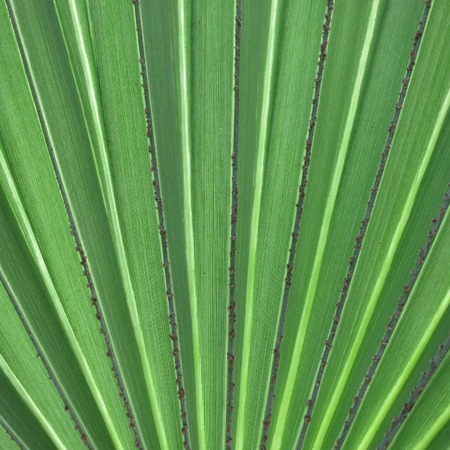 east africa: Leaf of a fan palm. Inhambane, Mozambique, East Africa Stock Photo
